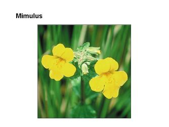bachs blomstermedicin1